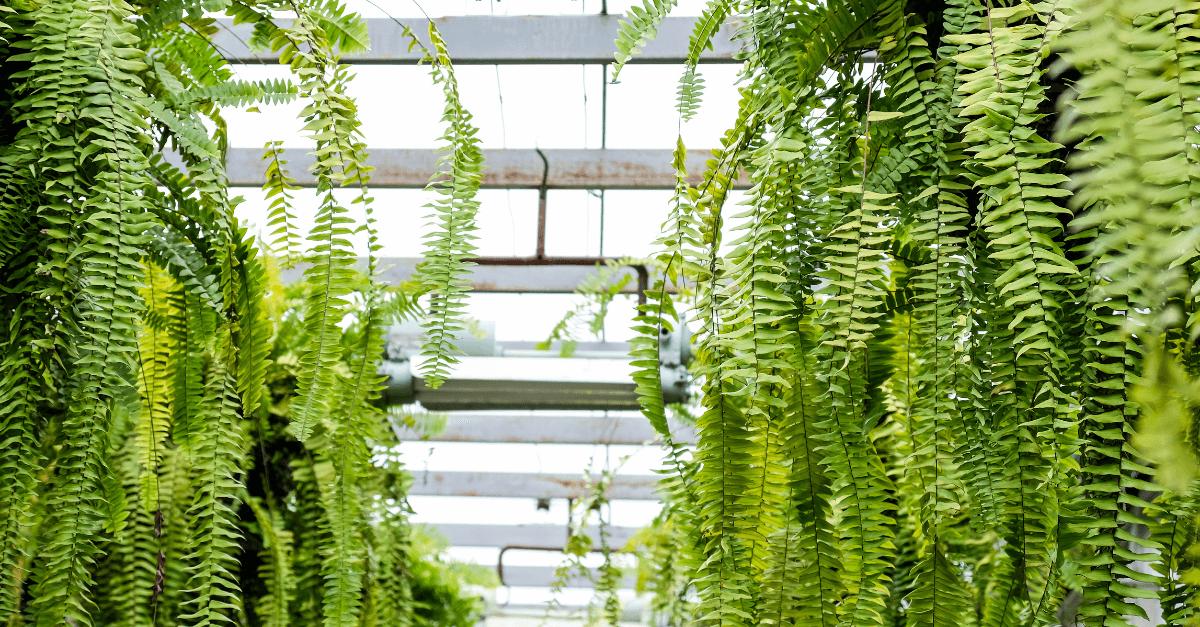 samambaia-planta